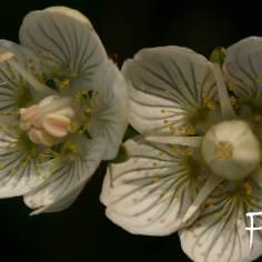Fehérmájvirág